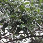 Lophostemon confertus leaves