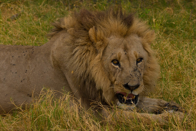 Full-maned lion