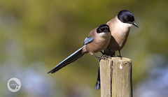 Azure winged Magpies in Doñana