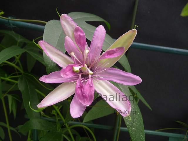Passiflora 'Paaliaq'