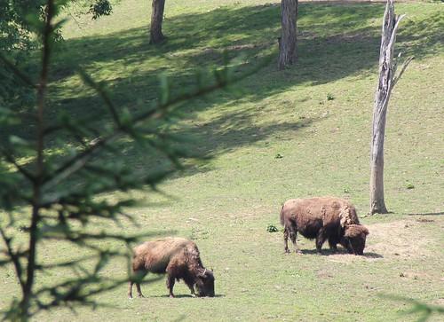 buffalo wv westvirginia bison westvirginiawildlifecenter
