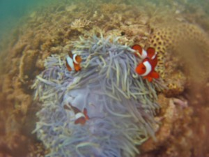 Snorkeling in Komodo National Park we found Nemo!