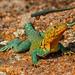 Oklahoma Collared Lizard