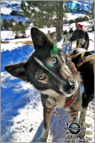 Andorra, Grandvalira. Mushing - Trineo de Perros. Cachorro aprendiz.