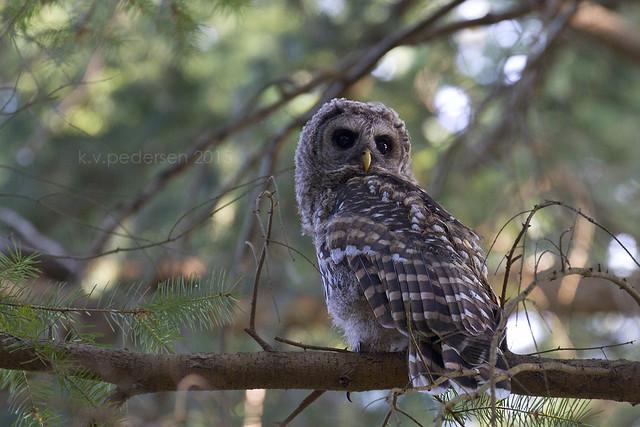 Owl whistles
