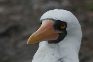 Masked Boobie.  Galapagos Islands, Ecuador.