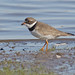 Semipalmated Plover by Keith Carlson