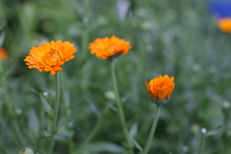orange king calendula