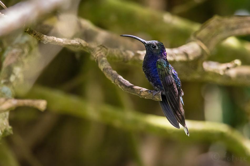 Sini, saabelkoolibri, Campylopterus, hemileucurus, Violet, Sabrewing, De Lattre's, Curi, Cancha, Reserve, Costa Rica, Kaido Rummel