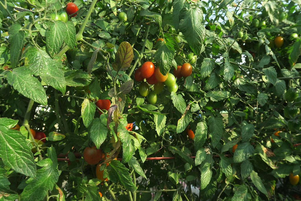 阿蓮三本草莓園 (15)
