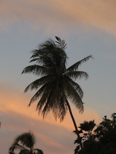 tree nature plant sky silhouette clouds morning sunrise sunup dawn fronds palm palmtree pastels hawaii hawaiiisland hawaiicounty honaunau honaunaubay westhawaii sandwichislands polynesia tropical outdoor 2017 kona life hawaiianislands barronfackler barryfackler island bigisland early southkona ecology ecosystem flora