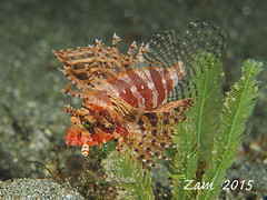 Shortfin Lionfish