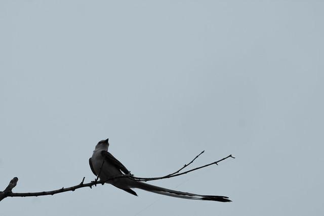 scissortail flycatcher in evening wind