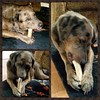 Loki enjoying his latest antler from Wapati Chewz.  He is a repeat customer for life!!