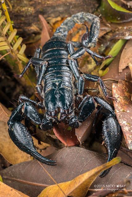 Giant black forest scorpion (Heterometrus sp.) - DSC_5306
