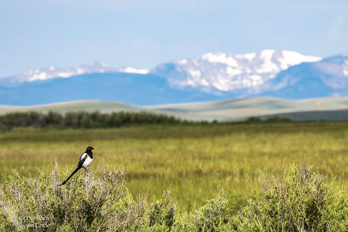 us colorado unitedstates july walden northpark 2015 blackbilledmagpie picahudsonia arapahonwr