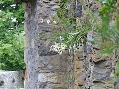 'Mauerblümchen' auf der Festung Hohentwiel