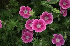 geranium cinereum(0.0), pink evening primrose(0.0), annual plant(1.0), flower(1.0), pinkladies(1.0), plant(1.0), flora(1.0), petal(1.0),