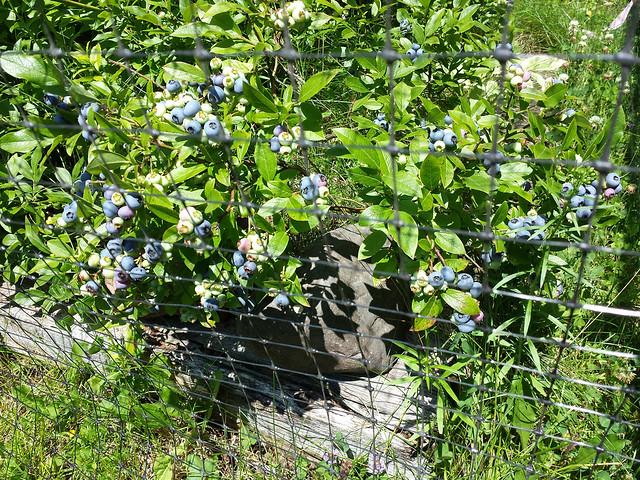 2015_blueberries