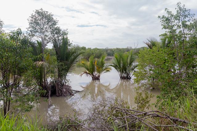 Les palmiers de la mangrove