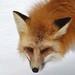 Red fox_(Peter Dunn)
