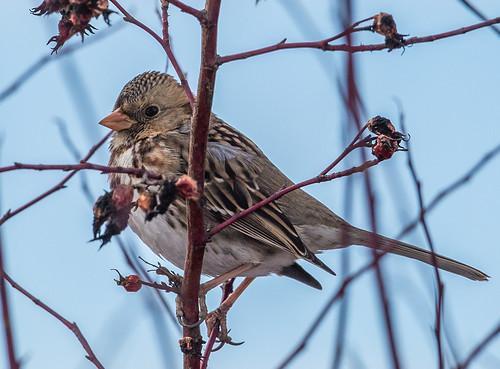 harrisssparrow sparrow zonotrichiaquerula zonotrichia emberizidae nigelje munsonpond kelowna