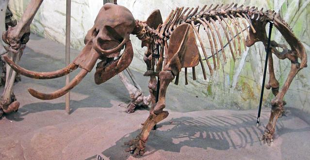 Mammuthus falconeri (dwarf mammoth) (Upper Pleistocene, ~15 ka; Sicily, Mediterranean Sea) 3