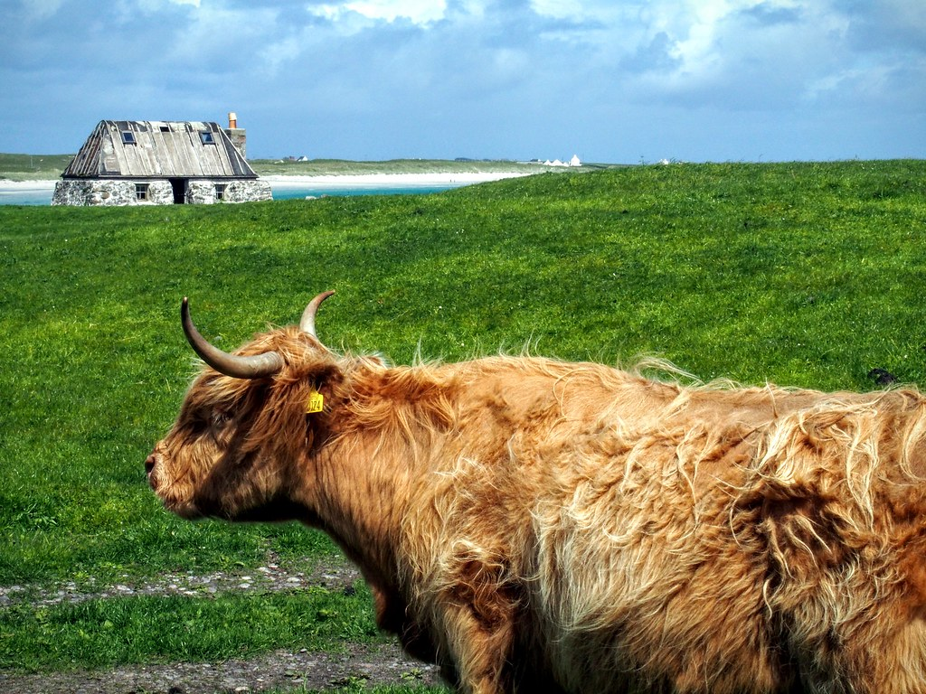 Cow at Balemartine, Tiree
