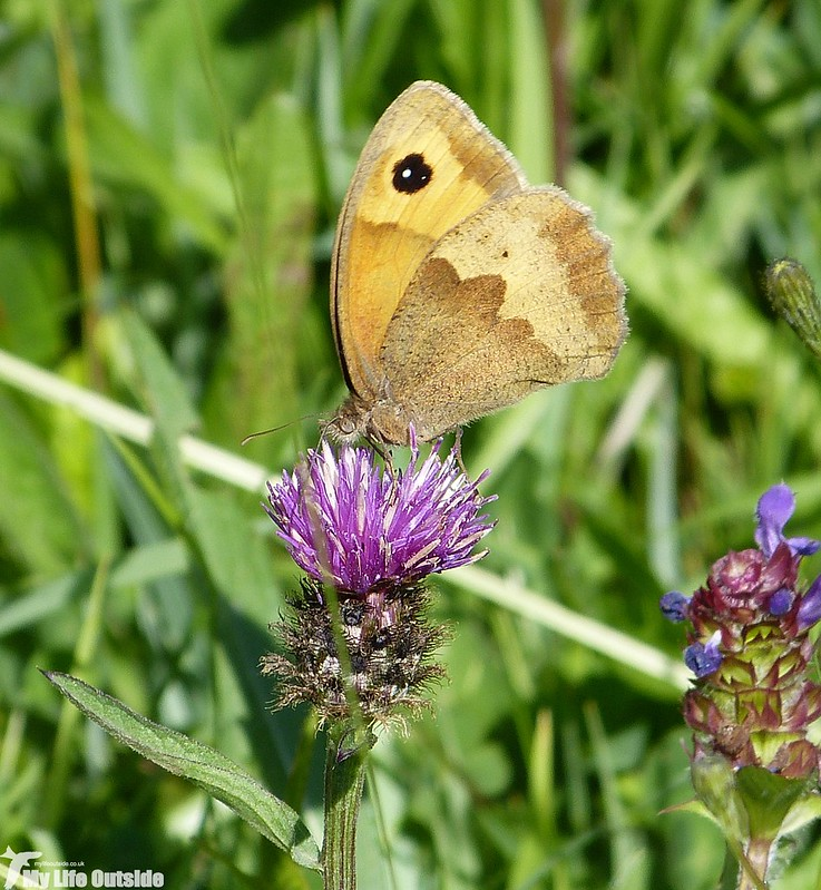 P1130840 - Meadow Brown, Llangorse Lake