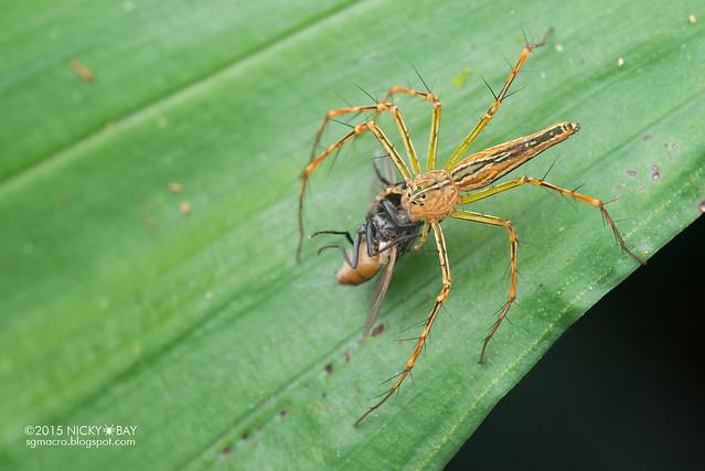 Lynx spider (Hamadruas sp.) - DSC_4359