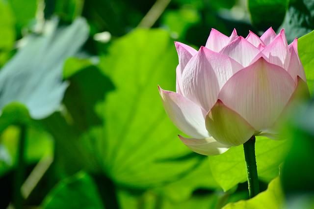 ハス Lotus