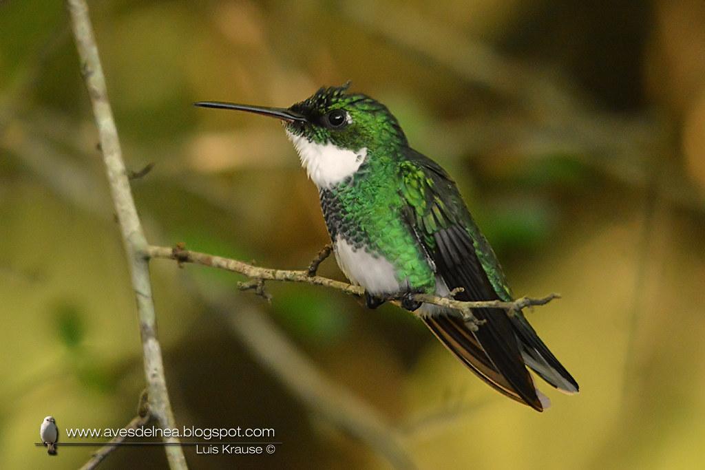 Picaflor garganta blanca (White-throated Hummingbird) Leucochloris albicollis