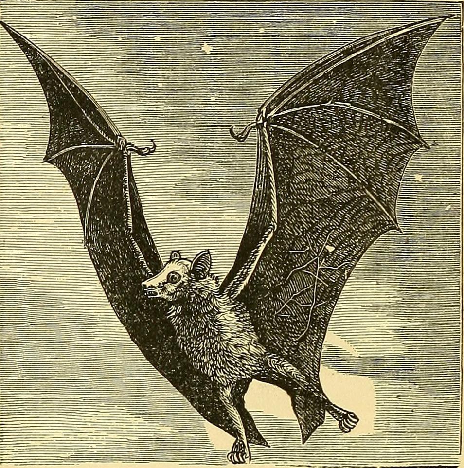 夜空を飛ぶコウモリ画像