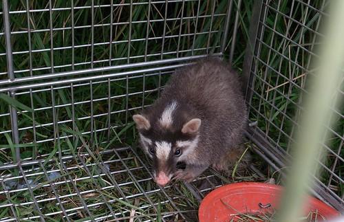 誤入遊蕩犬誘捕籠的鼬獾,顯示也吃餵食的食物。(圖片來源:陽明山國家公園管理處)