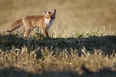 Rotfuchs - Vulpes vulpes - red fox