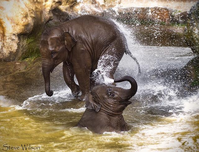 Baby Elephants at Play