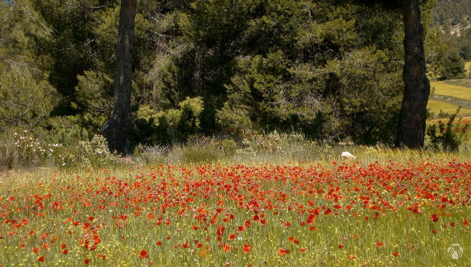 Campos de amapolas. Muy habituales en el noroeste en los meses de Abril y Mayo