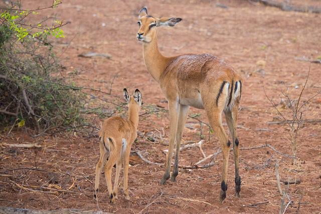 Mama and baby impala
