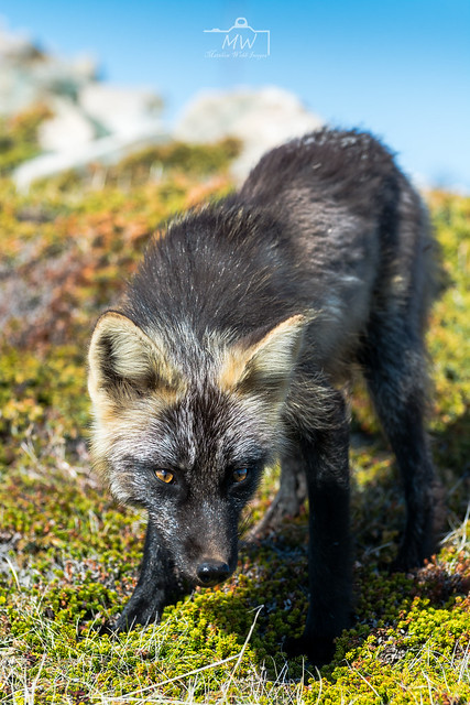 Bonavista Fox