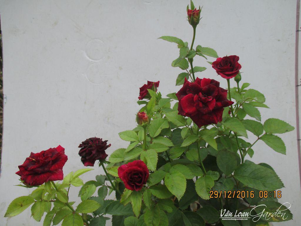 hocus pocus kordana rose (1)-vuonhongvanloan.com