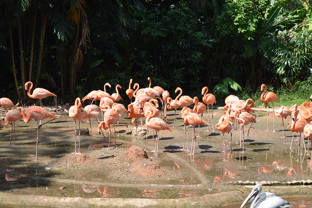 ピンクのフラミンゴの群れ 美しい