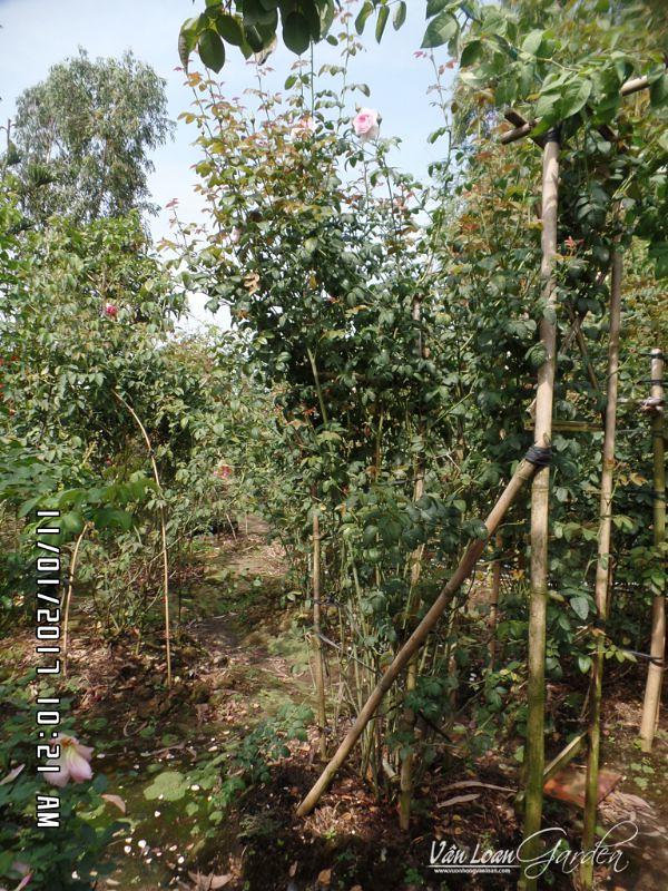 Bụi hồng Mon Coeur ở thời điểm hiện tại (11/01/2017) Sau 1 năm 2 tháng trồng thì cây đạt chiều cao 2m, đường kính tàn gần 1m