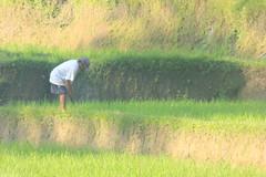 Rice paddies as you approach Gunung LebahTemple