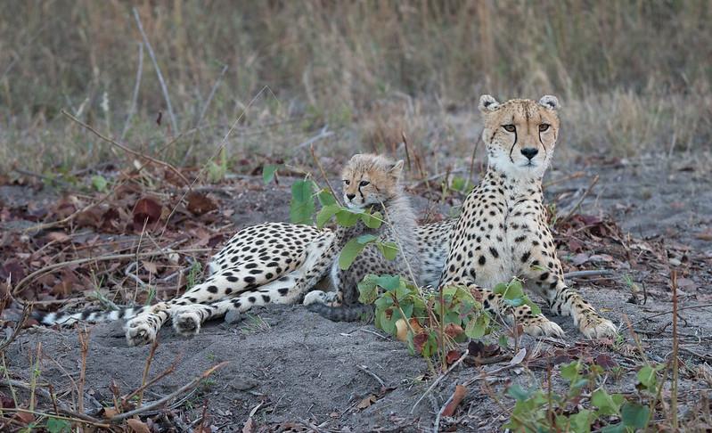 Cheetah mum and her cub