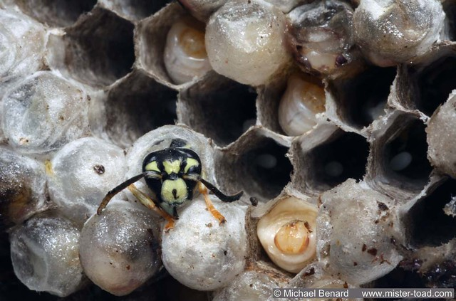 Aerial Yellowjacket Wasp Nest