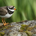 The ringed plover is a small, dumpy, short-legged wading bird. Explored. by Sandra Standbridge.