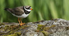 The ringed plover is a small, dumpy, short-legged wading bird.