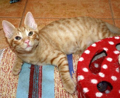 Jerry, gatito rubio guapo muy dulce y bueno, esterilizado, nacido en Abril´15 en adopción. Valencia. ADOPTADO. 19997503902_7c4b70b434
