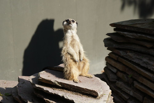 Meerkat at Natura Artis Magistra