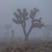 Joshua Trees in Fog by Jeffrey Sullivan
